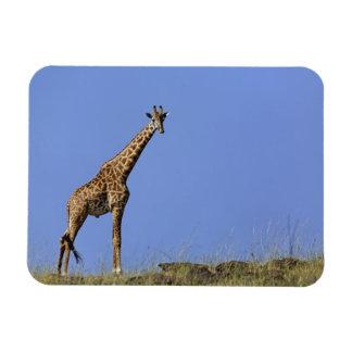 Giraffe on ridge against blue sky Giraffa Magnet