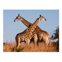 Giraffe pair postcard