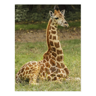 Giraffe Photo Postcard
