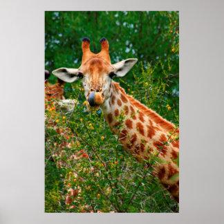 Giraffe Portrait, Kruger National Park Poster
