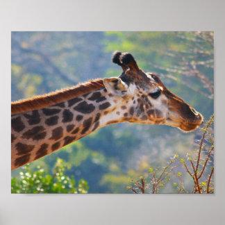 Giraffe Poster Gracefully Grazing Print