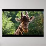 Giraffe Posters