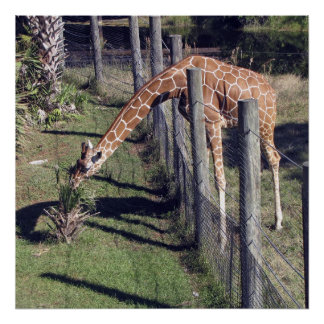 Giraffe Reaching over Fence Poster