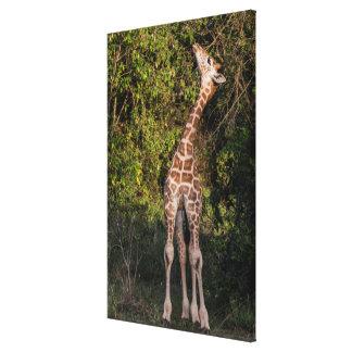 Giraffe Reaching up to Eat Canvas Print