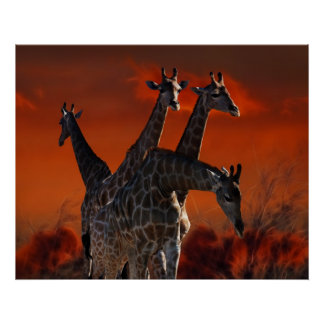 Giraffe series from South African wild life Posters