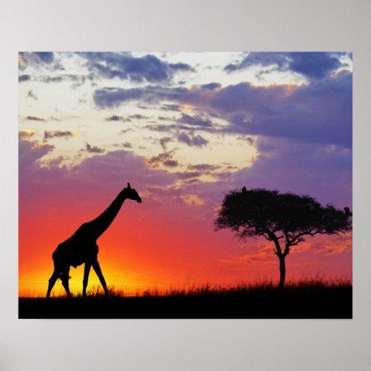 Giraffe silhouetted at sunrise, Giraffa Poster