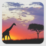 Giraffe silhouetted at sunrise, Giraffa Square Sticker