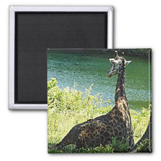 Giraffe Sitting Under a Tree Photo Kansas City Zoo Magnet
