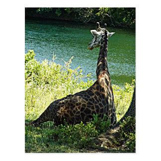Giraffe Sitting Under a Tree Photo Kansas City Zoo Postcard