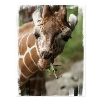 Giraffe Snack Postcard