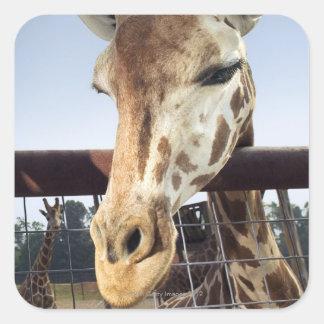 Giraffe Square Sticker