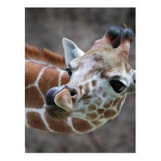 Giraffe Tongue Postcards