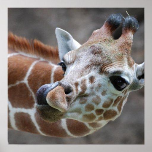 Giraffe Tongue Poster Print