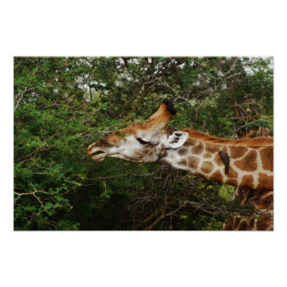Giraffe wall hangings & pictures - small size print