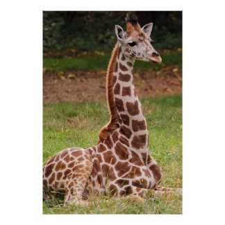 Giraffe Wildlife Animal Photo Posters