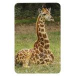 Giraffe Wildlife Rectangular Photo Magnet