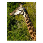 Giraffe with Tongue Sticking Out Curled Up Post Cards