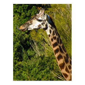 Giraffe with Tongue Sticking Out Curled Up Postcard