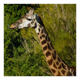 Giraffe with Tongue Sticking Out Curled Up Poster