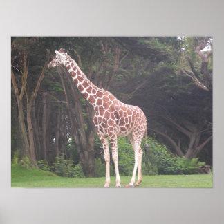 giraffes 002 canvas poster