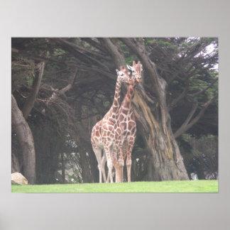 giraffes 003 canvas poster