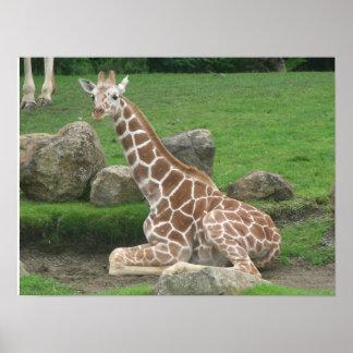 giraffes 005 canvas poster