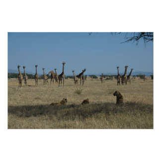 Giraffes and Lions Poster