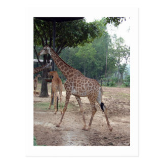 giraffes and trees postcard