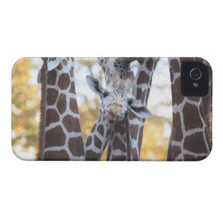 Giraffes at Tama Zoo, Tama Zoo, Tokyo Case-Mate iPhone 4 Case