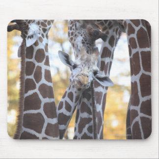 Giraffes at Tama Zoo, Tama Zoo, Tokyo Mouse Pad