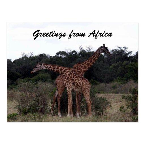 giraffes cross greetings postcard