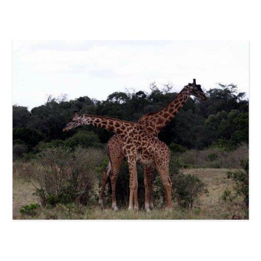 giraffes crossed necks postcard