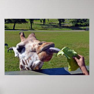 Giraffes feeding time Poster 2