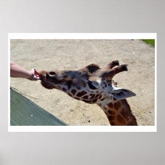 Giraffes feeding time Poster 3