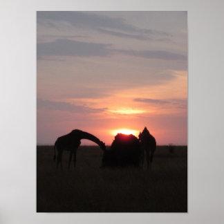 Giraffes Grazing at Sunset Poster