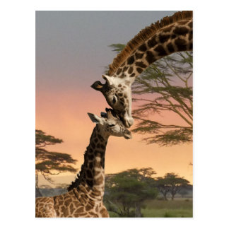 Giraffes Greeting Each Other Postcard
