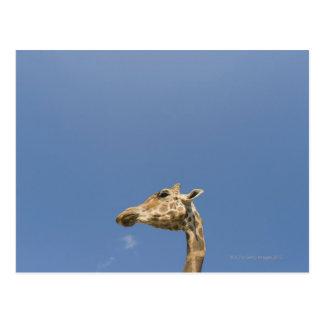 Giraffe's head postcard