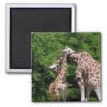 giraffes hugging magnet