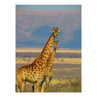 Giraffes in South Africa beautiful nature scenery Poster