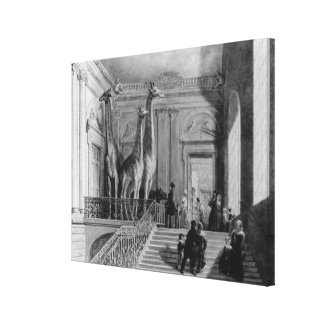 Giraffes on the staircase in the British Canvas Print