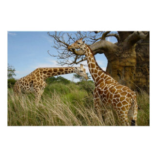 Giraffes out in the field by some trees poster