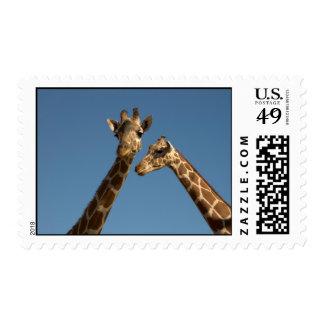 Giraffes Postage Stamp