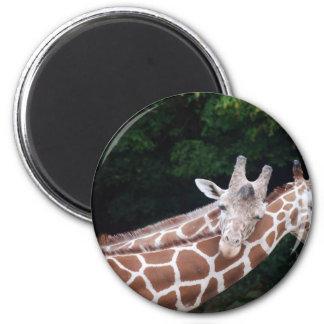 giraffes rubbing necks magnet