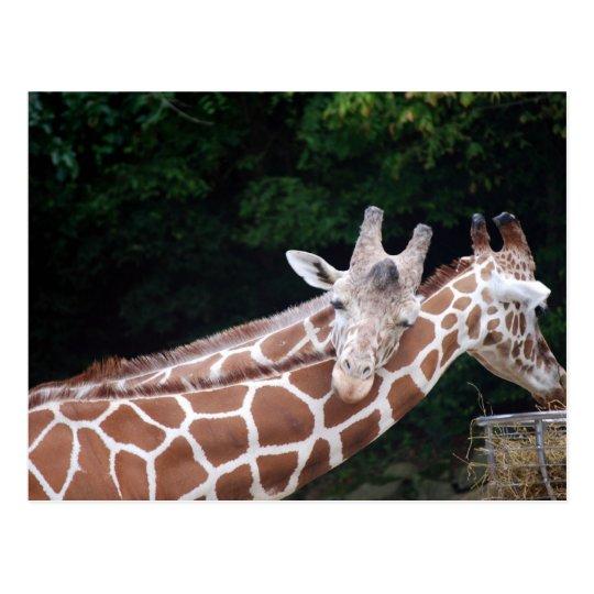 giraffes rubbing necks postcard