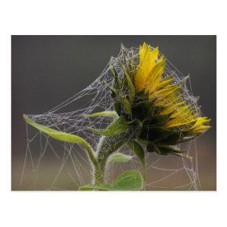 Girasol adornado por una postal de Spiderweb