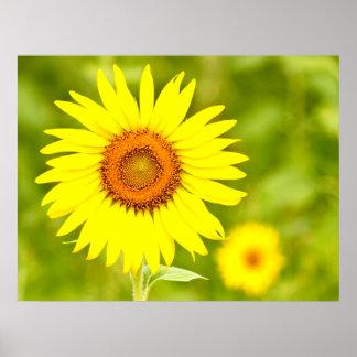 Girasol amarillo grande por amor curativo póster