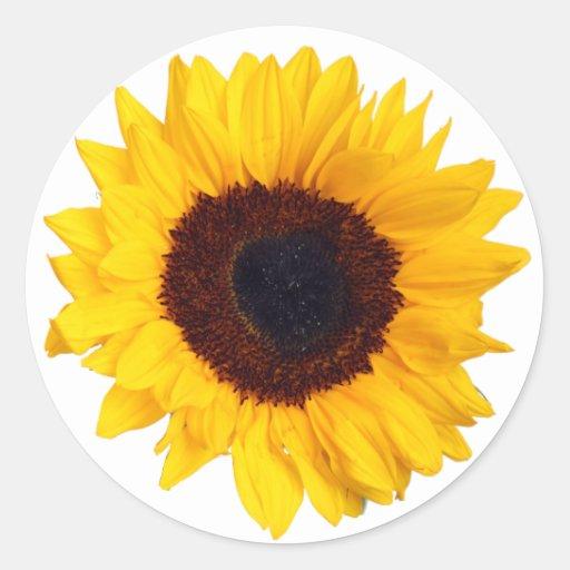 Girasol amarillo hermoso en el pegatina blanco