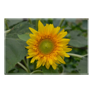 Girasol amarillo impresiones