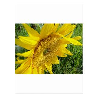 Girasol brillante tarjeta postal