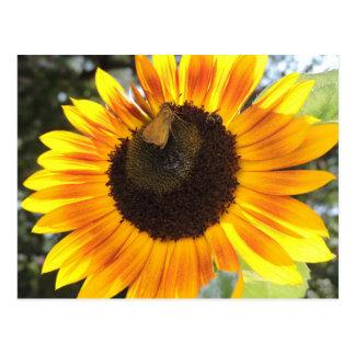 Girasol con las donadoras de polen postal